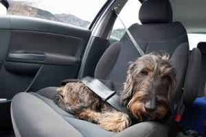 Eine Gurtpflicht für Hunde existiert zwar nicht, doch diese müssen ausreichend gesichert werden.