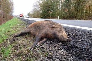 Nach einem Wildunfall liegt keine Fahrerflucht vor, aber eine Verletzung des Tierschutzgesetzes ist möglich.
